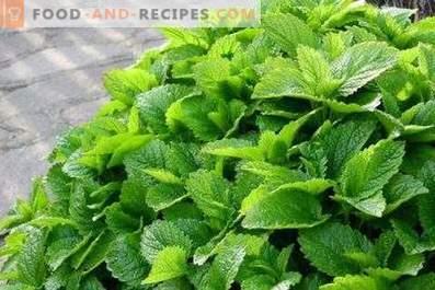 Como conservar erva-cidreira