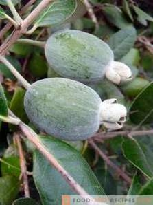 Feijoa: benefits and harm to the body
