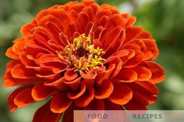 Zinnia - le migliori varietà e caratteristiche di coltivazione